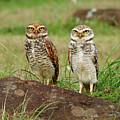 Burrowing Owl by Antonello