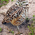 Burrowing Owl  by Dave Mills