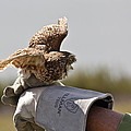 Burrowing Owl by Diana Hatcher