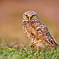 Burrowing Owl by TNWA Photography
