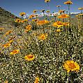 Bush Sunflowers Grow On Arid Slope by Gordon Wiltsie