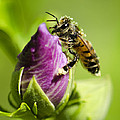 Busy Bee 2 by Dianne Phelps