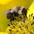 Busy Bee by Christine Stonebridge
