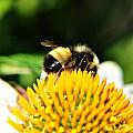 Busy Bee Collecting On Echinacea Pow Wow by Michael Frank Jr