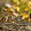 Busy Birds by Cheryl Baxter
