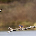 Busy Bluebirds - Three Overlooking The Lake by Travis Truelove