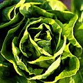 Buttercrunch Lettuce From Above by Angela Rath