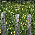 Buttercups by Christy Beal