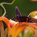 Butterflies Are Free... by Arthur Miller