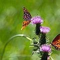 Butterflies On Thistles by Diana Haronis