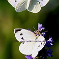 Butterfly - Cabbage White - As One by Travis Truelove