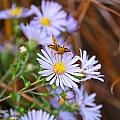 Butterfly And Aster by Mary McAvoy