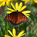 Butterfly And Yellow Flowers by Rebecca Margraf