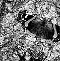 Butterfly Bark Black And White by LeeAnn McLaneGoetz McLaneGoetzStudioLLCcom