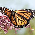 Butterfly Beauty - Monarch IIi by Regina Geoghan