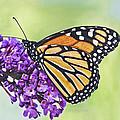Butterfly Beauty-monarch by Regina Geoghan