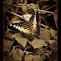 Butterfly Brown by Linda Olsen