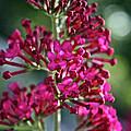 Butterfly Bush by Susan Herber