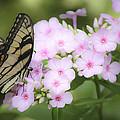 Butterfly Dreams by Teresa Mucha