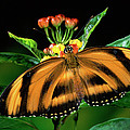 Butterfly Dryadula Heliconius Feeding by Michael & Patricia Fogden