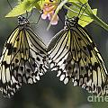 Butterfly Duo by Eunice Gibb