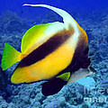 Butterfly Fish by MotHaiBaPhoto Prints