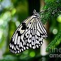 Butterfly II by Ellen Heaverlo
