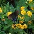 Butterfly Lantana by Victoria Leyva