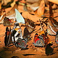 Butterfly Menagerie by Bruce J Robinson
