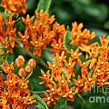 Butterfly Milkweed by Susan Herber