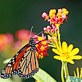 Butterfly Monarch On Lantana Flower by Luana K Perez