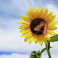Butterfly On A Sunflower by Shane Bechler