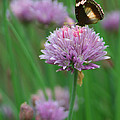Butterfly On Clover by Diana Haronis