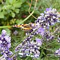 Butterfly On Lavendula by Eva-Maria Di Bella
