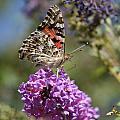 Butterfly On Lilac by Berta Barocio-Sullivan