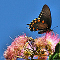 Butterfly On Mimosa Blossom by Joyce Dickens