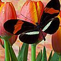 Butterfly On Orange Tulip by Garry Gay