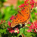 Butterfly On Pentas by Carla Parris