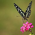 Butterfly On Pink Flower  by Ramabhadran Thirupattur