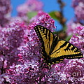 Butterfly On Pink Lilac by Marjorie Imbeau