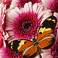 Butterfly On Pink Mum by Garry Gay