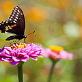 Butterfly On Pink Zinnia by Amy Jackson