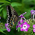 Butterfly On Purple by Cheryl Cencich