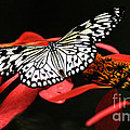 Butterfly On Red by Bob Christopher