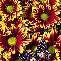 Butterfly On Yellow Red Daises  by Garry Gay