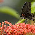 Butterfly Papilio Memnon Feeding by Tim Laman