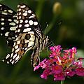 Butterfly by Ramabhadran Thirupattur