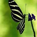 Butterfly by Ronald Grogan