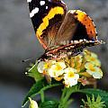 Butterfly Sipping Lantana Luscious Lemonade   by Michael Frank Jr