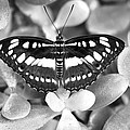 Butterfly Study #0061 by Floyd Menezes